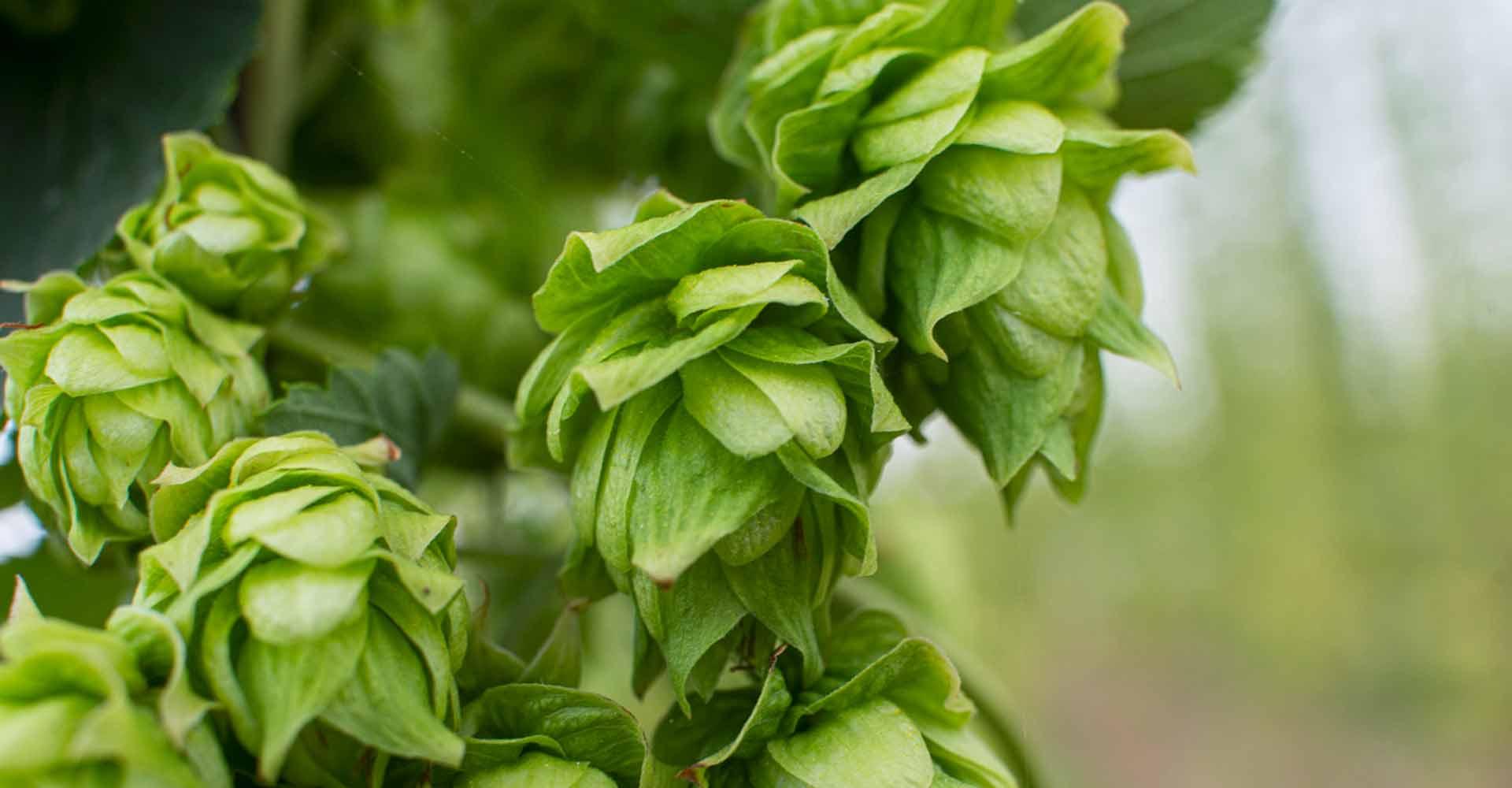 https://www.birrificiomarduk.com/wp-content/uploads/2020/06/01a1-marduk-brewery-agricoltura-filiera-materie-prime-birrificio-birre.jpg